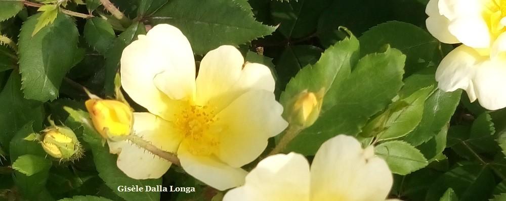 Gisèle Dalla Longa - les-fleurs-dsc-0065-photo-2017-de-gisele-dalla-longa.jpg