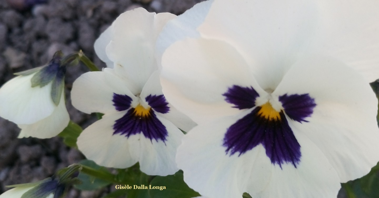 Gisèle DALLA LONGA - dsc-0046-les-fleurs-photos-2019-de-gisele-dalla-longa.jpg