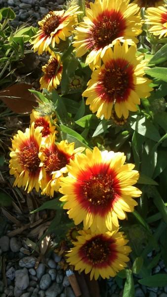 dsc-0637-2017-fleurs-photo-de-gisele-dalla-longa.jpg