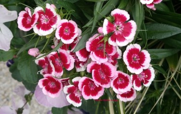 dsc-1329-les-fleurs-photo-2018-de-gisele-dalla-longa.jpg
